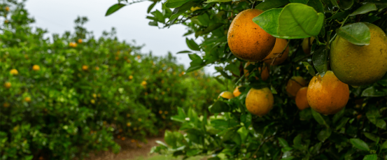 A close-up view of oranges on a tree in an orchard.