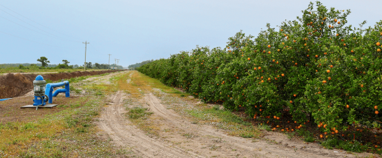 A dirt field between a field of orange trees and a blue metal pipe.